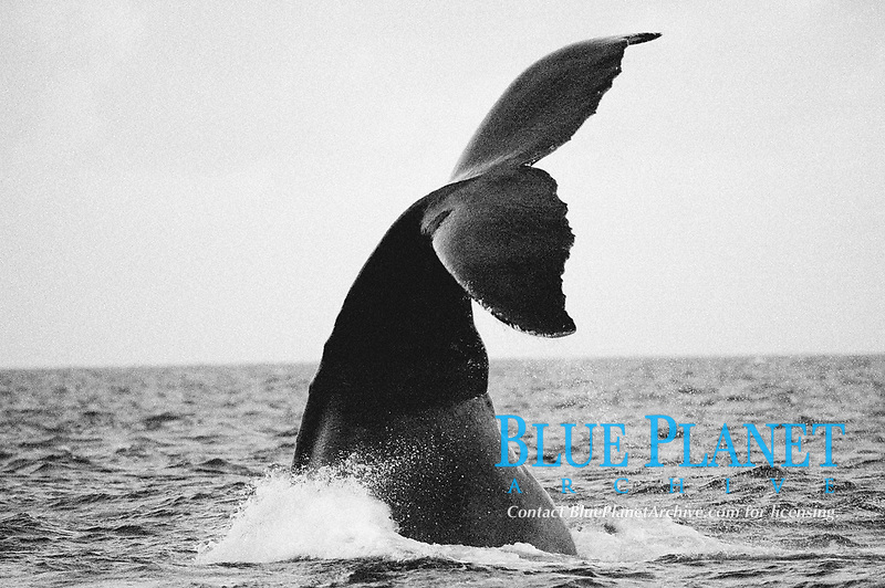 black and white composition Deep Sounding, humpback whale, Megaptera novaeangliae, fluke, Silverbank, Dominican Republic, Caribbean, Atlantic