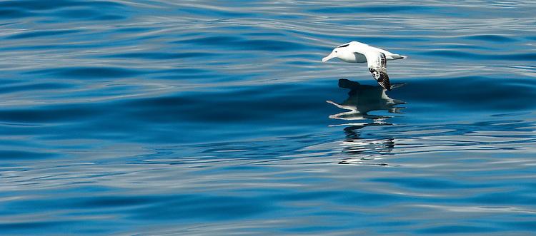 Southern Royal Albatross (Diomedea epomophora), Drake Passage, Antarctica