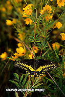 03009-00118 Black Swallowtail (Papilio polyxenes) on Bur Marigold (Bidens aristosa), Marion Co.   IL