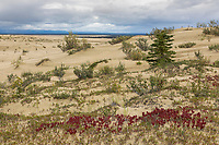 Plants encroach on the Great Kobuk Sand Dunes, Kobuk Valley National Park, Alaska.