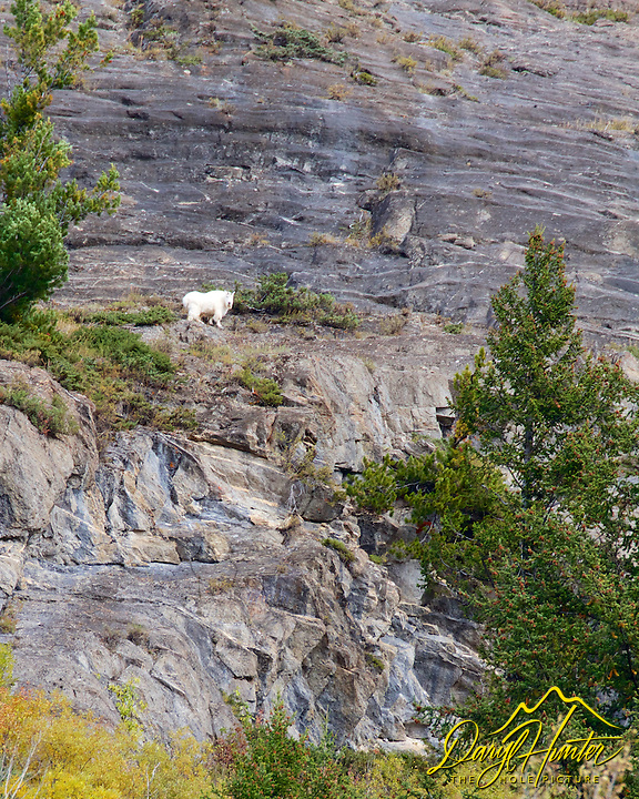Mountain Goat, Banff National Park