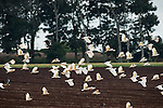 Huge flock of Sulphur-crested Cockatoo eating / digging peanuts from the newly ploughed fields. The Sulphur-crested Cockatoo (Cacatua galerita) is a relatively large white cockatoo found in wooded habitats in Australia and New Guinea and some of the islands of Indonesia. They can be locally very numerous, leading to them sometimes being considered pests. Some of the cockatoos are brownish with their white feathers falling off. Many of the things parrots love – like nuts, peanuts and oil seeds are not healthy when too much is consumed.