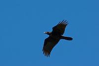 Kolkrabe im Flug, Flugbild, Kolk-Rabe, Rabe, Corvus corax, common raven