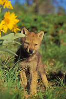 Gray wolf or timber wolf pup (Canis lupus)