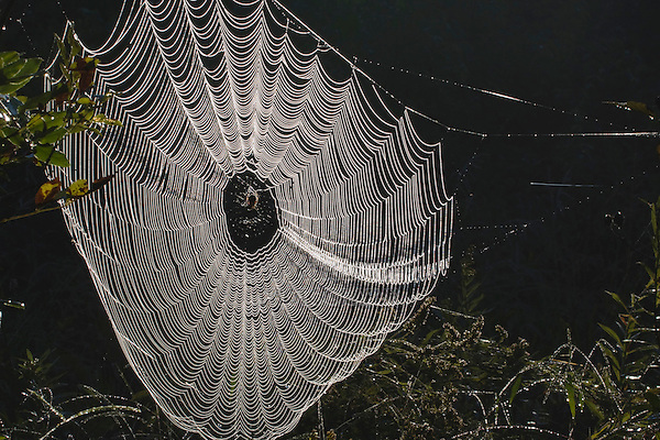 Spider web covered in dew, Lillington, North Carolina, USA