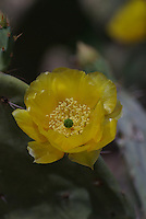 Desert Prickly Pear Cactus flower seen on a spring day in southern Arizona.