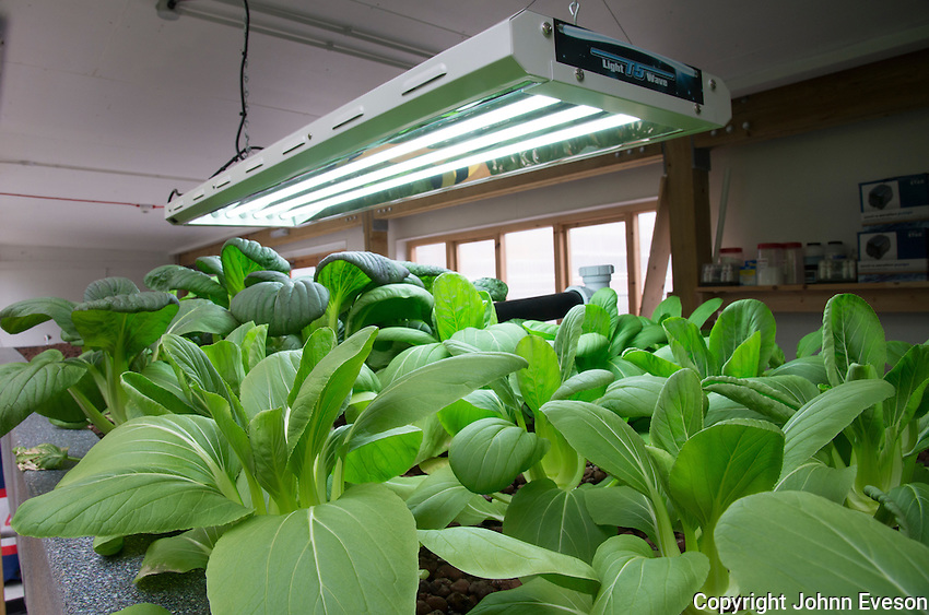 Pak choi growing in an aquaponics unit, Todmorden, West Yorkshire. Water from tanks containing Talapia fish is pumped in to a trough with expanded clay.