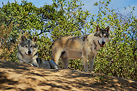 694920030 two gray wolves canis lupus relax on a shady hillside in their enclosure at a wildlife rescue facility - animals are wildlife rescue animals - species is native to northern tier of north america and is endangered in much of its home range