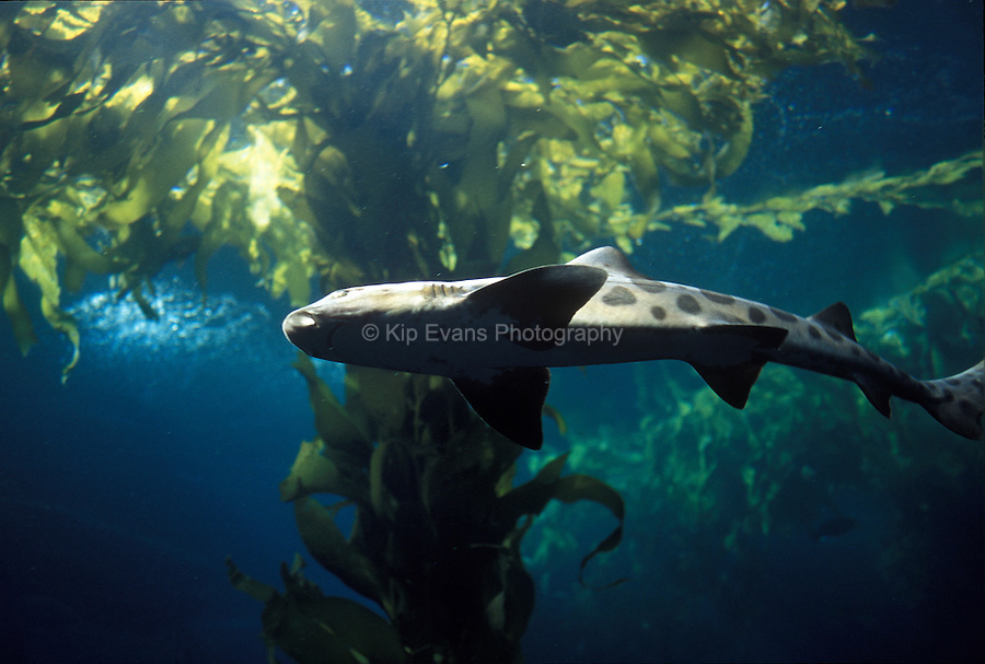 Leopard shark swimming in kelp forest