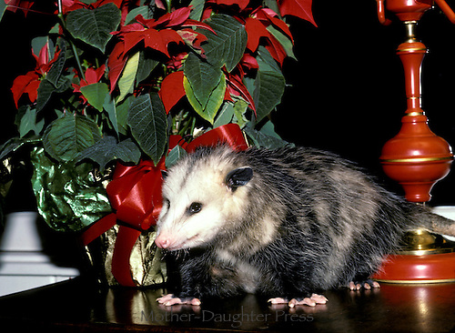 Pet possum on table beside Poinsettia near Christmas