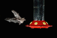 Mexican Long-tongued Bat, Choeronycteris mexicana, adult in flight at night feeding on Hummingbird feeder,Tucson, Arizona, USA, September 2006