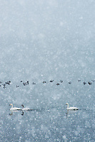 Tundra swans and waterfowl overwintering on Lake Suwa in a heavy snowfall, Nagano, Japan.