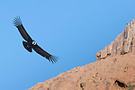 Andean Condor in flight, Patagonia, Argentina