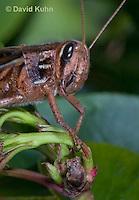 0407-1104  American Birdwing Grasshopper, Bird Locust, (Details of Labram, Mandibles, Maxillae, Labium, Eye, Antennae), Schistocerca americana  © David Kuhn/Dwight Kuhn Photography