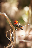 MAURITIUS, Ile aux Aigrettes, a small red headed bird called the Mauritius Fody rests on a branch