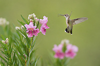 Ruby-throated Hummingbird (Archilochus colubris), female in flight feeding on blooming Desert willow (Chilopsis linearis), Hill Country, Texas, USA
