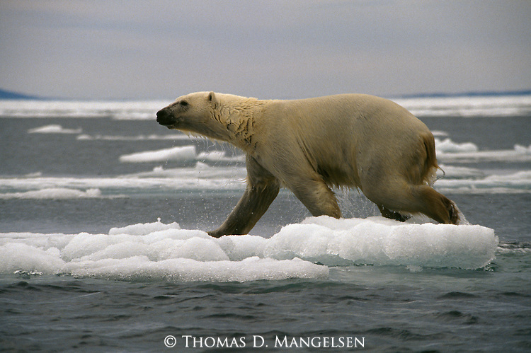 A polar bear walks across ice after a swim.