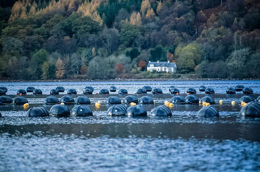 Rope grown mussels, Loch Fyne West Coast of Scotland