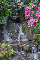ORPTC_D110 - USA, Oregon, Portland, Crystal Springs Rhododendron Garden, Mallard ducks (male and female pair) on rocks next to waterfall and blooming rhododendron.