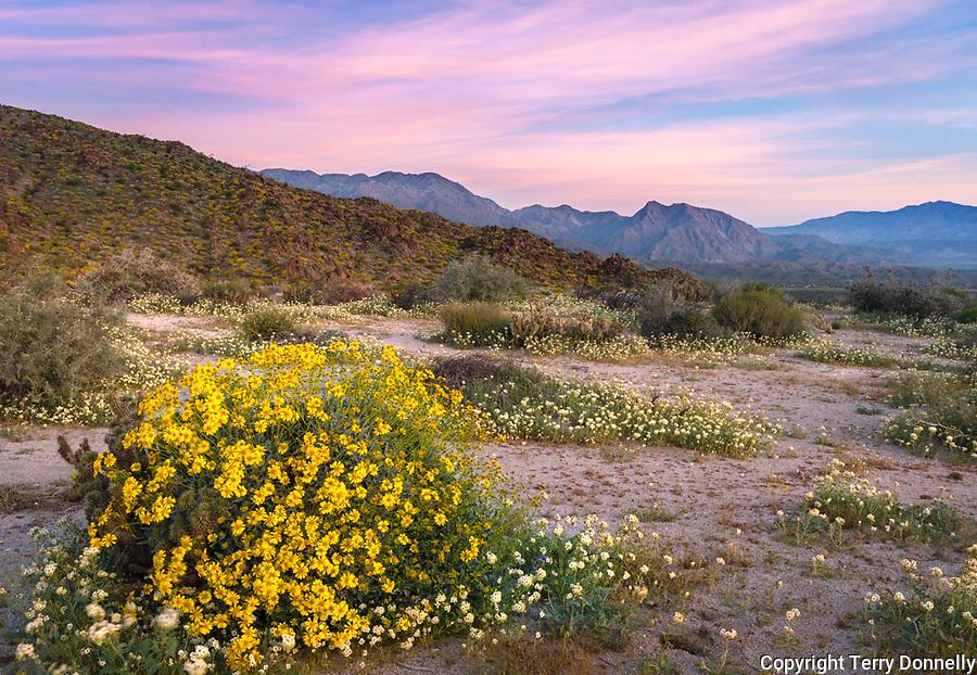 Anza Borrego Desert State Park, California:<br /> Pink dawn sky above Yaqui Meadows brittlebush (Encelia farinosa)