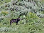 A black wolf walks through a field in Yellowstone.