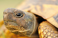 Greek land tortoise, Testudo graeca, Lake Kerkini, Macedonia, Greece