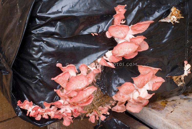 Mushroom Pink Oyster, Pleurotus, growing in compost bag
