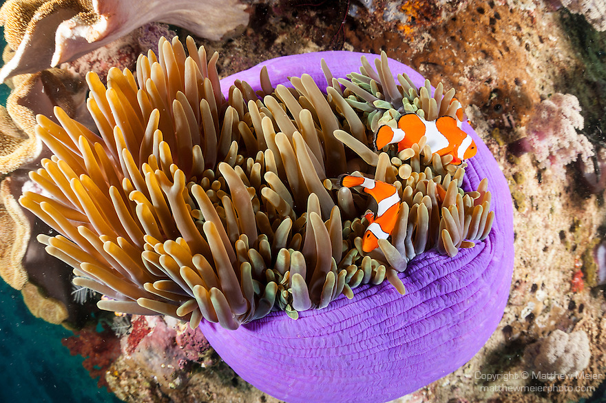 Triton Bay, West Papua, Indonesia; several Clown Anemonefish (Amphiprion percula) in a purple sea anemone
