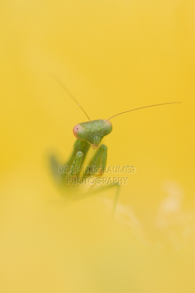 Praying Mantis, Mantidae, young in blossom of Texas Prickly Pear Cactus (Opuntia lindheimeri), Uvalde County, Hill Country, Texas, USA