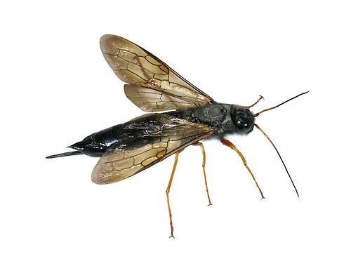 Sirex juvencus - a species of Wood Wasp