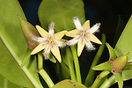 Red Mangrove flowers, Rhizophora mangle, flowers are thought to be self pollinated or wind pollinated. Following fertilization, mangrove propagules undergo continuous development from flower to germinated seedling while still attached to the parent plant, with no dormant or seed phase, thus exhibiting vivipary. The seedlings, or propagules, eventually fall from the parent plant and are able, in the absence of suitable substrata, to float for extended periods (over a year) in salt water without rooting.