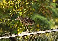 Indian Heron sitting on iron-fence