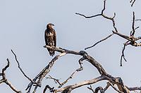 africa, Zambia, South Luangwa National Park,   snake eagle