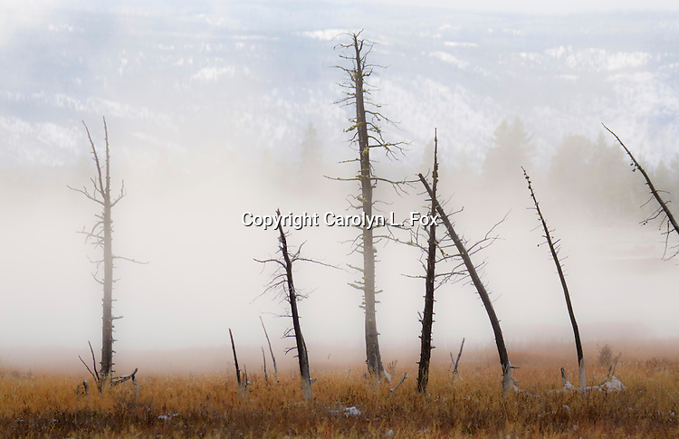 Dead trees stand in the fog in Yellowstone.