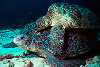 Copulating green sea turtles, Chelonia mydas, captive, San Diego, California, USA, Pacific Ocean