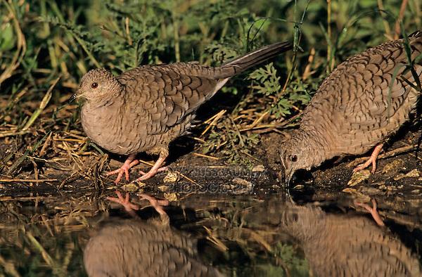 Inca Dove, Columbina inca, pair drinking, Lake Corpus Christi, Texas, USA