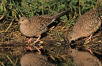 Inca Dove, Columbina inca, pair drinking, Lake Corpus Christi, Texas, USA