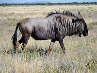 Wildebeest - (Connochaetes taurinus)  Gnus belong to the family Bovidae, which includes antelopes, cattle, goats, and other even-toed horned ungulates. Connochaetes includes two species, both native to Africa: the black wildebeest, or white-tailed gnu (C. gnou), and the blue wildebeest, or brindled gnu (C. taurinus)....