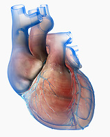 Computer generated biomedical illustration of the human heart