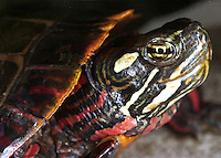 Eastern Painted Turtle, Md.