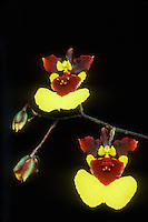 Oncidium = Tolumnia Bob Dugger orchid hybrid (Gypsy Beauty x Susan Perreira) against black background