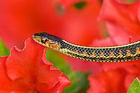 Common Garter Snake (Thamnophis sirtalis) or Red-spotted Garter Snake in azalea bush, Pacific Northwest.
