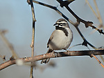 A black-throated sparrow