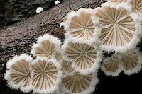 Underside of a log, showing saucer-shaped appearance of centrally attached frutibodies of Split Gill (Schizophyllum commune). This saprobic mushroom is often found in overlapping clusters on decaying hardwoods. What appears to be gills are actually radiating folds or lobes. One of the most common and widely distributed fungi species worldwide, found on every continent.