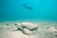 turtle researcher Hannah Seward and Australian flatback sea turtle, Natator depressus, endemic to Australia and southern New Guinea, Australia