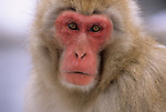 A portrait of a Japanese macaque or snow monkeys in Jigokudani National Park, Japan.