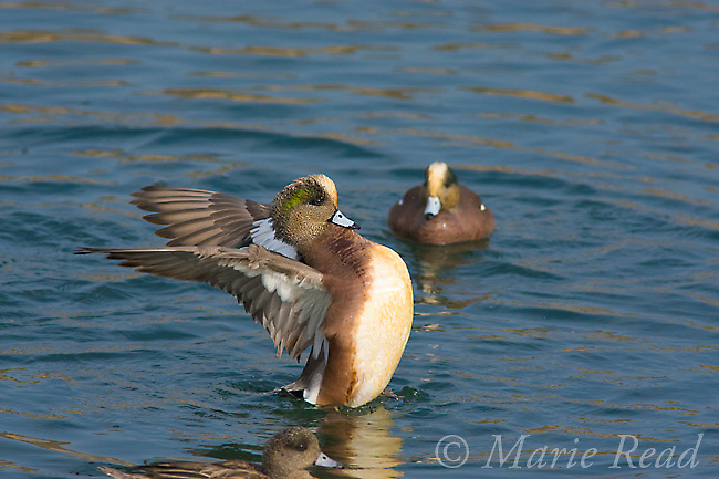 American Wigeon (Anas americana), male flapping wings, Bolsa Chica Ecological Reserve, California, USA