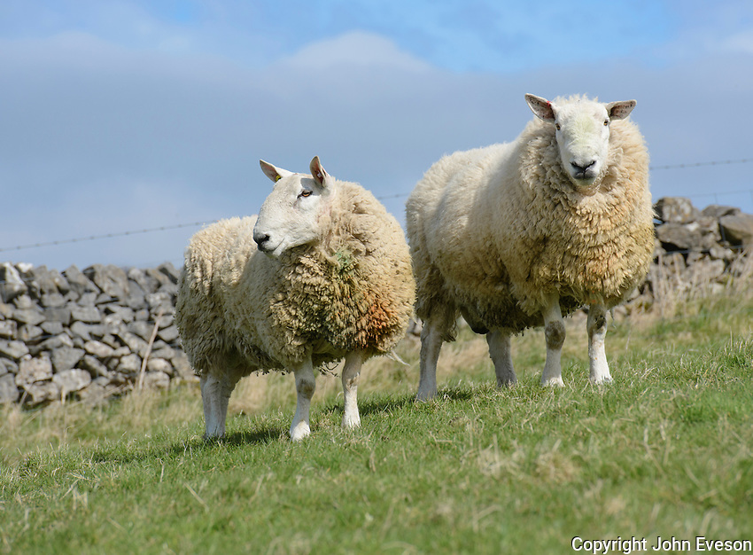 Two North Country Cheviot rams, Edale, Derbyshire.
