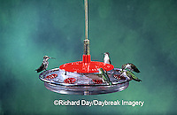 01162-031.20 Ruby-throated Hummingbirds (Archilochus colubris) 5 at feeder Marion Co.   IL