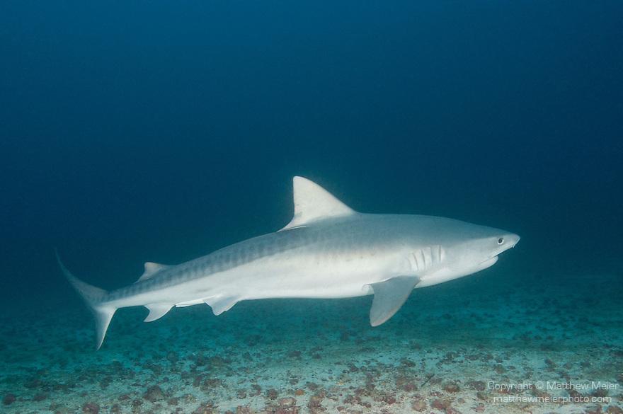 Cocos Island, Costa Rica; a Tiger Shark (Galeocerdo cuvier) swimming over the sandy bottom